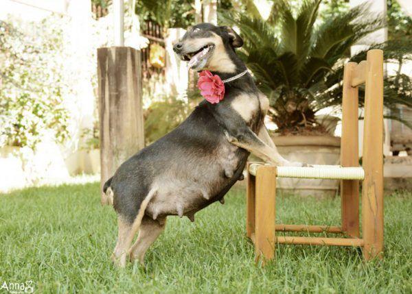 Ця собака затьмарила всі ваші «вагітні фотосесії»!