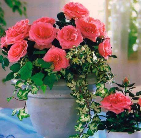Кімнатна троянда. 5 порад квітникаря для рясного цвітіння