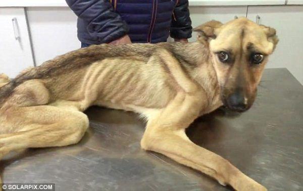 На межі смерті: неймовірна історія порятунку виснаженої собаки