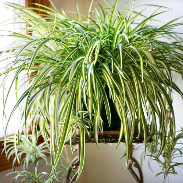 Невибагливі кімнатні рослини