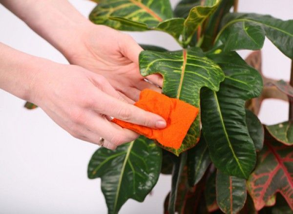 Кілька порад з лікування кімнатних рослин