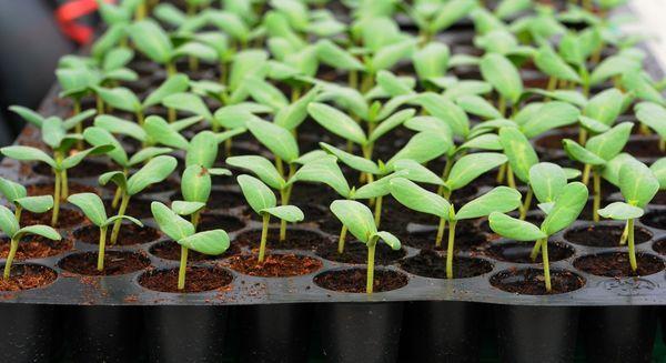 Вирощуємо розсаду правильно