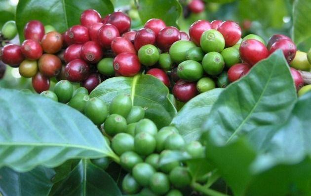 Вирощування кавового деревця в домашніх умовах