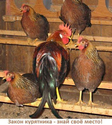 Закон курника - спілкування і відносини людей по Закону курятника